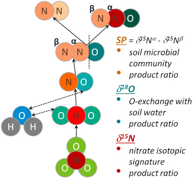 Denitrification steps controlling isotopic signatures of N2O fluxes (δ18O, δ15N, SP) which are taken into account in the N2O isotopic fractionation method.