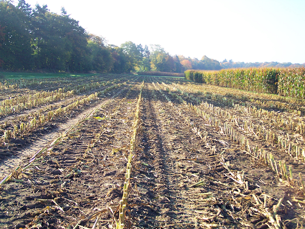 Maize field with plant residues which are a starting material for soil organic matter