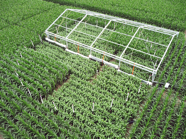 Cultivation of maize and several cultivars of sorghum at the experimental field of the Thünen-Institute with free air carbon dioxide enrichment and simulation of summer drought by using rain shelters.