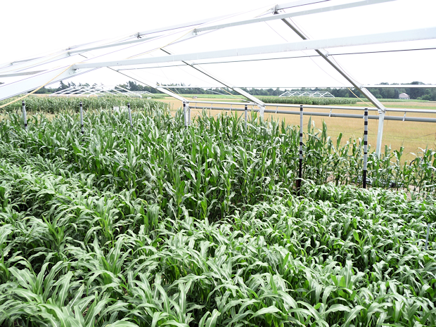 Plots with maize and different sorghum cultivars within a FACE (free air CO2 enrichment) ring combined with rain shelter for simulation of summer drought
