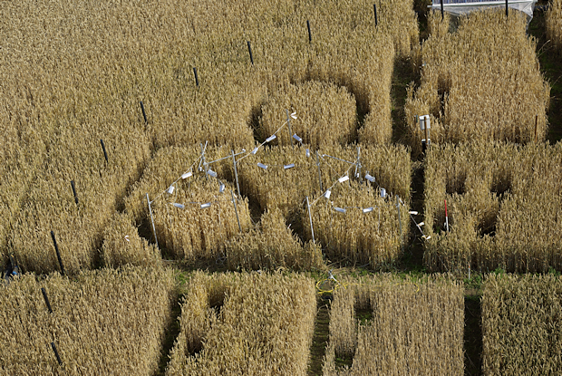 Wheat field with black pipes for CO2 enrichment and with small plots with ring-shaped infrared heaters for warming of the crop