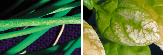 Ozone damage on leafy crops reduces their market value (left: salad onion; right: spinach)